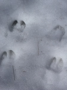 A few of the many deer tracks encountered while looking for the larger imprints of moose or bear.
