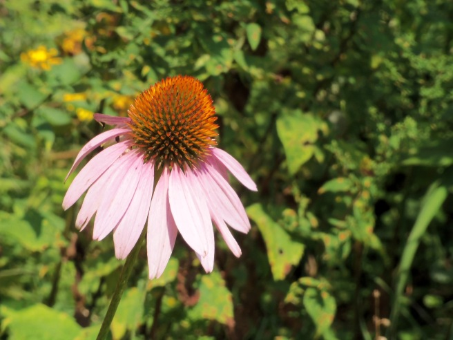 Also called coneflowers, the echinacea takes its name from a Greek word for sea urchin. I'll let others debate its value as an herbal medicine, but we think it's a glorious sight at this time of the year.
