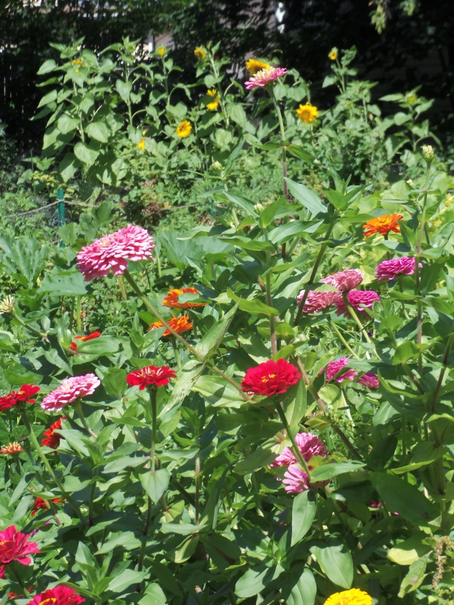 While the flowers demand attention from a block down our street, we've found an even better reason to have them: the hummingbirds have a special fondness for bright zinnias in addition to the sunflower trail behind them.