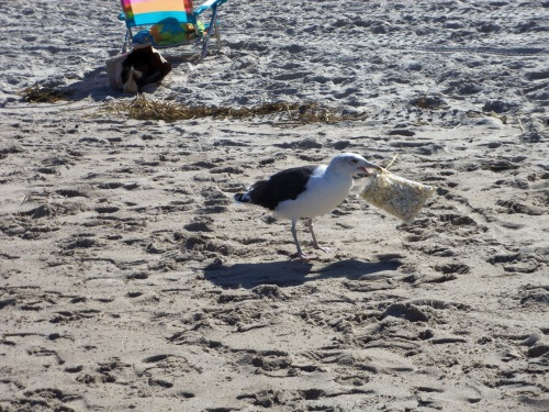 When you go to the beach, you need to secure your snacks from the marauding gulls. Here one makes off with a bag of popcorn, which the bird promptly ripped open before a host of rivals flocked in.