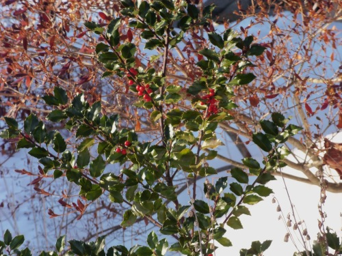 The red holly berries and intense green foliage stand out against snow at the front of our house.