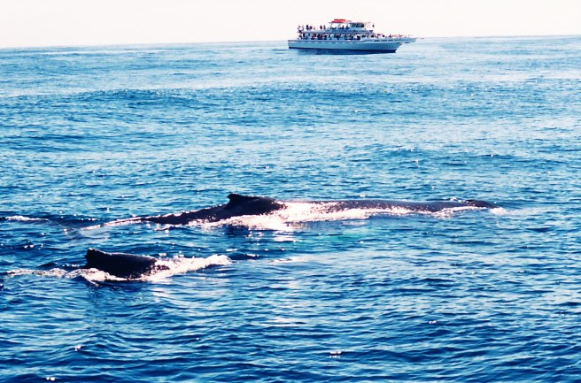 Often, several whale watch tours will circle in the same vacinity.