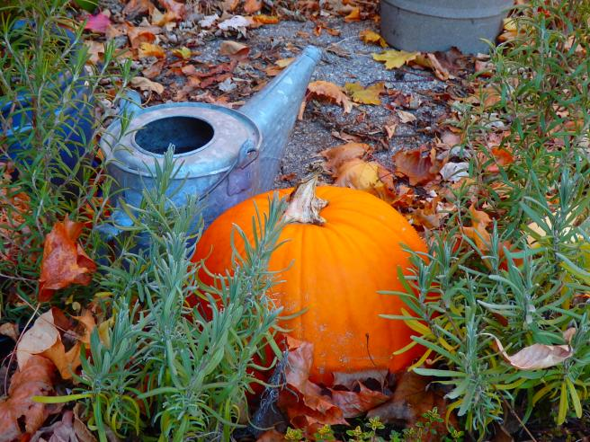 A pumpkin sits amid fallen leavens and pots of rosemary in front of the barn. It strikes me as an emblem of October where we live.