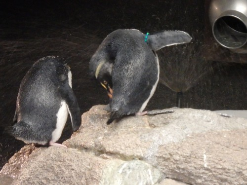 Penguins at the New England Aquarium take utter delight in the periodic rounds of spray around their pool.