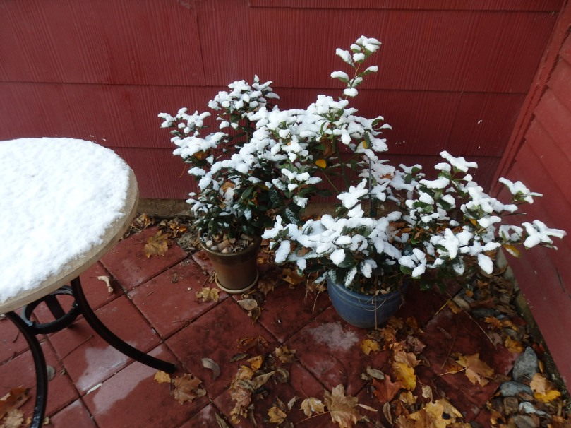 I really should bring our bay trees and pots of rosemary indoors any day now. Yes, they can stand light snow or frost, but deep cold's another matter altogether. And we do like having fresh herbs at hand all winter.